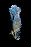 Pesce siamese blu e giallo di combattimento isolato sul backgrou nero Fotografia Stock