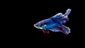 Pesce siamese blu e rosso di combattimento, pesce di betta isolato sul nero Immagine Stock