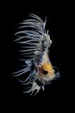 Pesce siamese Crowntail Betta di combattimento Immagine Stock