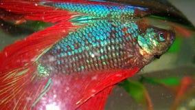 Pesce siamese del combattente Fotografie Stock Libere da Diritti