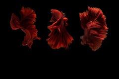 Pesce siamese di betta Immagini Stock Libere da Diritti