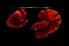 Pesce siamese di betta Immagini Stock