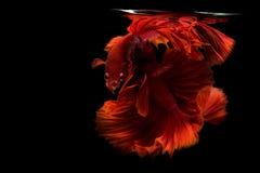 Pesce siamese di betta Fotografia Stock Libera da Diritti