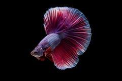 Pesce siamese di betta Fotografia Stock