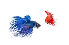 Pesce siamese di combattimento Fotografie Stock Libere da Diritti