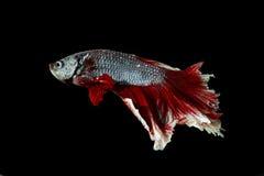 Pesce siamese di combattimento, betta splendens isolato su fondo nero Fotografie Stock