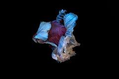 Pesce siamese di combattimento, betta splendens isolato su fondo nero Fotografia Stock Libera da Diritti
