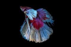 Pesce siamese di combattimento, betta splendens isolato su fondo nero Fotografie Stock Libere da Diritti