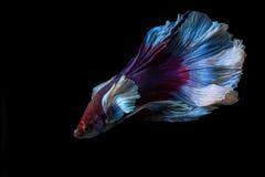 Pesce siamese di combattimento, betta splendens isolato su fondo nero Fotografia Stock