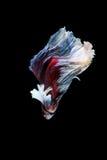 Pesce siamese di combattimento, betta splendens isolato su fondo nero Immagine Stock Libera da Diritti