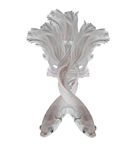 Pesce siamese di combattimento del platino bianco di Platt Fighti siamese bianco Immagine Stock