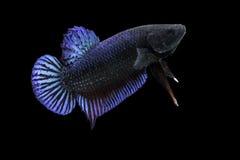 Pesce siamese di combattimento isolato sul nero Fotografia Stock