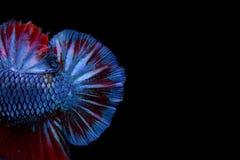 Pesce siamese di combattimento di multi colore, pesce di Betta, combattimento siamese Immagine Stock