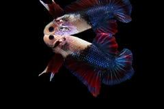 Pesce siamese di combattimento di multi colore, pesce di Betta, combattimento siamese Immagini Stock Libere da Diritti