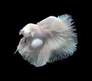 Pesce siamese di combattimento, pesce di betta isolato su un fondo nero Fotografia Stock Libera da Diritti