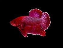 Pesce siamese di combattimento, pesce di betta isolato sul nero Fotografia Stock Libera da Diritti