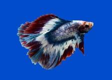 Pesce siamese di combattimento sul nero Immagini Stock