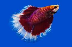 Pesce siamese di combattimento sul nero Fotografie Stock Libere da Diritti