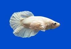 Pesce siamese di combattimento sul nero Fotografia Stock Libera da Diritti