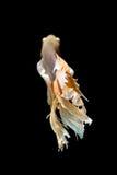 Pesce siamese giallo e bianco di combattimento, pesce di betta isolato sul nero Immagine Stock