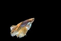 Pesce siamese giallo e bianco di combattimento, pesce di betta isolato sulla b Fotografie Stock