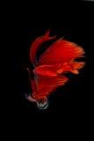 Pesce siamese rosso di combattimento isolato su fondo nero Betta fi Fotografia Stock Libera da Diritti