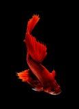 Pesce siamese rosso di combattimento, pesce di betta isolato Immagine Stock Libera da Diritti