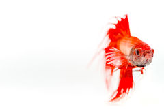 Pesce siamese rosso di combattimento su fondo bianco Immagine Stock