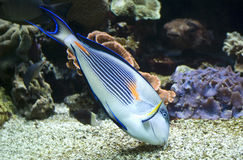 Pesce sohal variopinto & x28; Sohal& x29 del Acanthurus; Immagini Stock Libere da Diritti