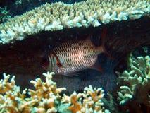 Pesce-soldato prima del riparo immagini stock