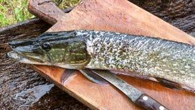 Pesce spazzolato crudo del luccio di esox lucius pronto per la frittura, su un taglio Immagine Stock Libera da Diritti
