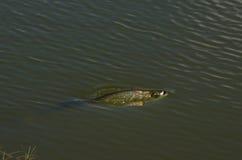 Pesce in stagno Fotografie Stock Libere da Diritti