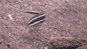 Pesce a strisce sul fondo sabbioso in chiara acqua pulita dell'oceano Filippine video d archivio