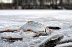 Pesce su ghiaccio fotografia stock