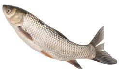 Pesce su un fondo bianco Fotografia Stock