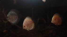 Pesce Symphysodon Aequifasciatus di disco in acquario stock footage