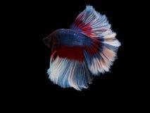 Pesce tailandese di combattimento Fotografia Stock Libera da Diritti