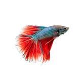 Pesce tailandese di combattimento Bello colore Fotografie Stock Libere da Diritti