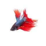 Pesce tailandese di combattimento bello colore Fotografia Stock Libera da Diritti