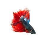 Pesce tailandese di combattimento bello colore Immagine Stock Libera da Diritti