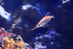 Pesce trombetta di Longspine Fotografie Stock