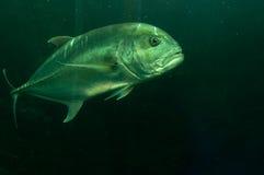 Pesce tropicale immagini stock libere da diritti