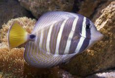 Pesce tropicale Fotografie Stock Libere da Diritti