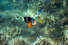 Pesce tropicale Clownfish in spiaggia Foto subacquea del pesce di corallo fotografie stock libere da diritti