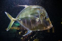 Pesce tropicale d'argento Lookdown immagine stock