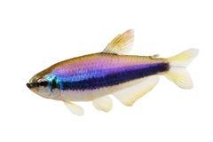 Pesce tropicale dell'acquario dell'imperatore di Tetraàdi inpaichthys kerri blu del 'isolato immagini stock libere da diritti