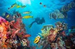 Pesce tropicale di Anthias con i coralli netti del fuoco Immagine Stock Libera da Diritti