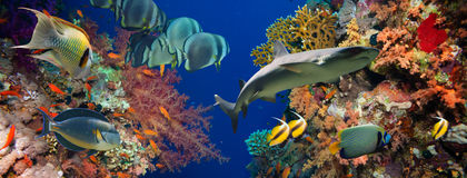 Pesce tropicale di Anthias con i coralli netti del fuoco e squalo Fotografie Stock