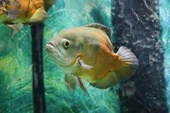 Pesce tropicale di Oscar sull'acquario Fotografia Stock Libera da Diritti