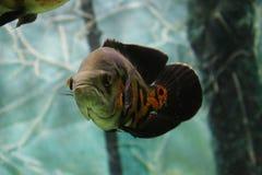 Pesce tropicale di Oscar sull'acquario Immagini Stock Libere da Diritti
